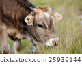 Cow in nature 25939144