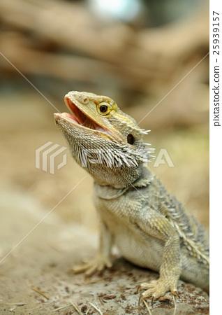 Bearded Dragon Lizard 25939157