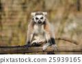 Lemur 25939165