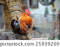 bird, chicken, fowl 25939200