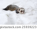 Wild ferret in snow 25939223
