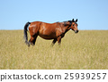 Horse 25939257