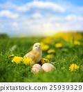 Little chicken 25939329