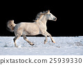 White horse running in winter in meadow 25939330