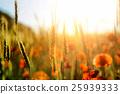 Wild poppy flower 25939333