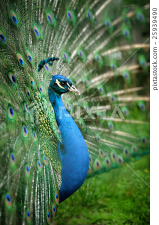 Portrait of beautiful peacock 25939490
