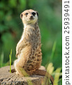 A meerkat standing upright and looking alert 25939491