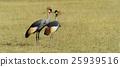 Crowned crane 25939516
