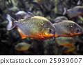 Tropical piranha fishes 25939607