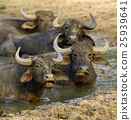 Water buffalo are bathing in a lake 25939641