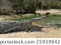 Crocodile 25939642