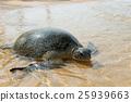 Turtle 25939663