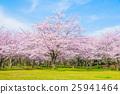 ดอกซากุระบาน,ซากุระบาน,ดอกไม้ 25941464