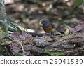 Magpie Robin Bird, 25941539