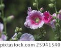 ดอกฮอลลี่ฮ็อค,ดอกฮอลลี่ฮ็อค,ดอกไม้ 25941540