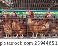 egg chicken farm 25944651