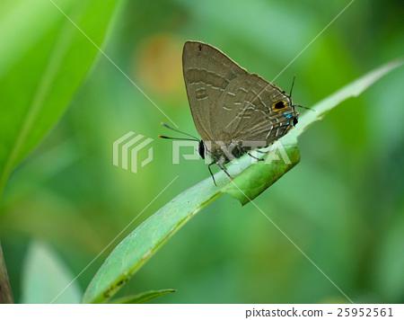 有機體,昆蟲,蝴蝶,恆春小蝴蝶 25952561
