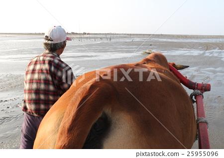 黃牛與老人 25955096