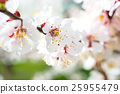 Spring blossoming white spring flowers 25955479