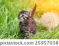 Little kitten walking on the grass 25957038