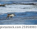 Reindeer at a lake, Iceland 25958983