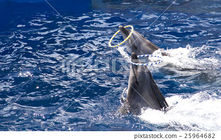 Dolphin show / ring throw 25964682