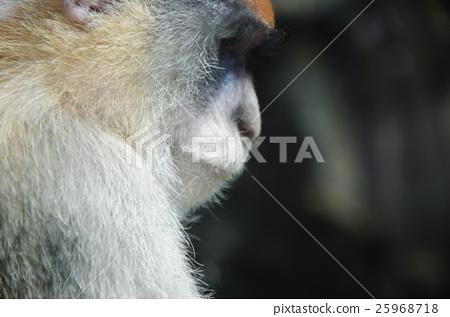 Inoko,圍欄動物園,猴子,台灣,Mucha Zoo,猴子,Mucha動物園 25968718