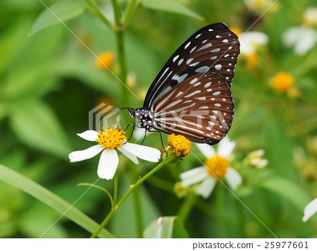 蝴蝶 25977601