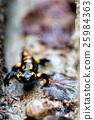 salamander 25984363