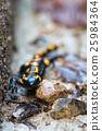 salamander 25984364