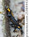 salamander 25984443