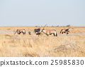 Herd of Oryx grazing in the bush 25985830