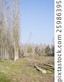 Cutting a forest of poplars. 25986395