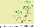 Gotu kola  plant  for food isolated picture 25986860