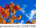 ต้นเมเปิล,ท้องฟ้าเป็นสีฟ้า,ฤดูใบไม้ร่วง 25987488