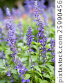lavender flowers, close-up, selective focus. 25990456