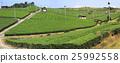 차밭, 녹색, 잎 25992558
