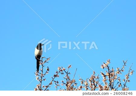 花與鳥 26008246