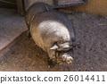 dirty hog mammal 26014411