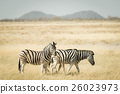 Herd of Zebras grazing in the bush 26023973