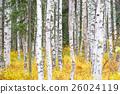 白樺和黃色葉子 26024119