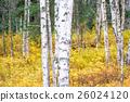白樺和黃色葉子 26024120