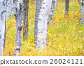 白樺和黃色葉子 26024121