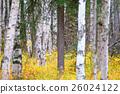 白樺和黃色葉子 26024122