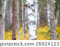 白樺和黃色葉子 26024123
