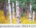 白樺和黃色葉子 26024124