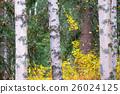 白樺和黃色葉子 26024125