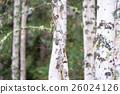 白樺和黃色葉子 26024126