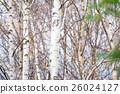 白樺和黃色葉子 26024127