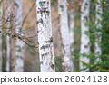 白樺和黃色葉子 26024128